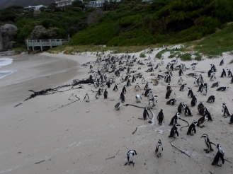 African Penguin, Boulders Beach